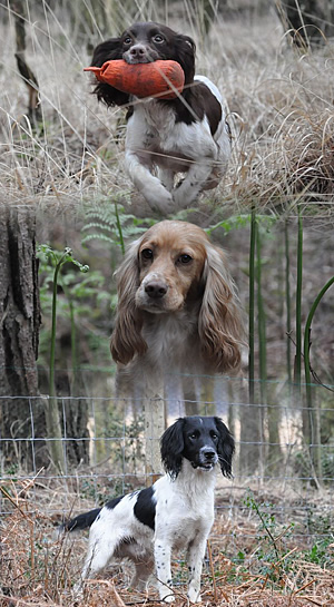 Kennel Club Assured Breeders Of Working English Springer And Cocker Spaniels