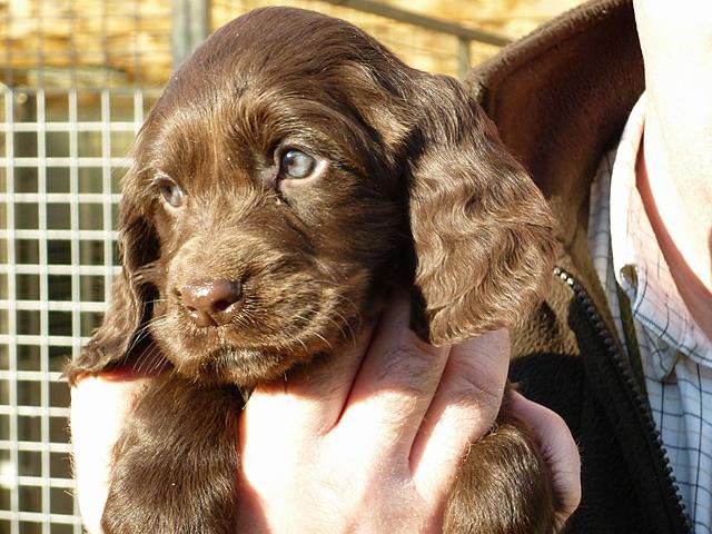 Kennel Club Assured Breeder
